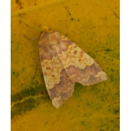 Barred Sallow 2