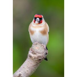 Goldfinch in the garden 3