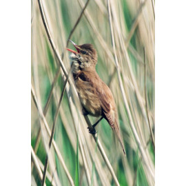 Great Reed Warbler Cley 1