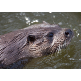 Otters close up