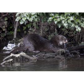 Otter eating bird