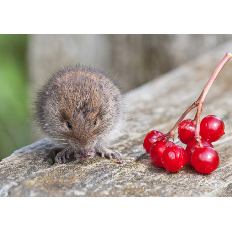 Bank Vole with Berries