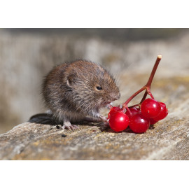 Bank Vole with Gelder Rose