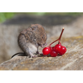 Bank Vole  Washing