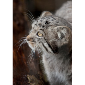 Pallas's Cat Head