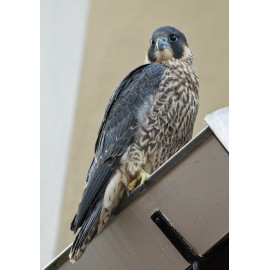 Peregrine Norwich Cathedral 3