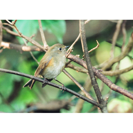 Red Flanked Bluetail Winspit