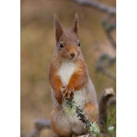 Red Squirrel Cairngorm 25