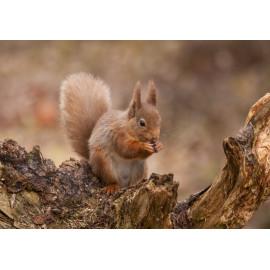 Red Squirrel Cairngorm 2