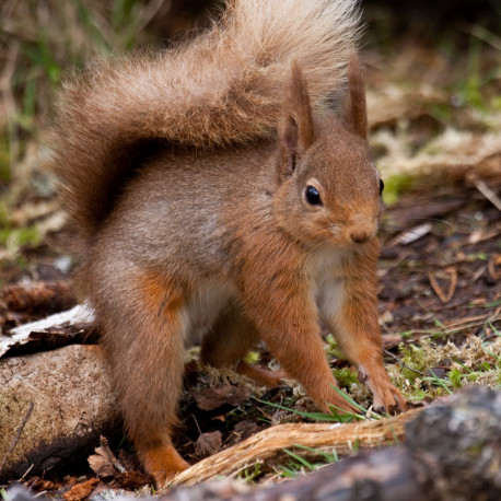 Red Squirrel Cairngorm 7
