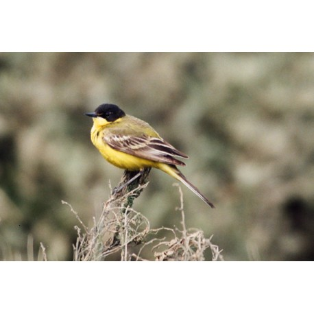 Black Headed Wagtail Essex