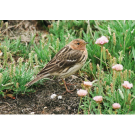 Red Throated Pipit Weybourne