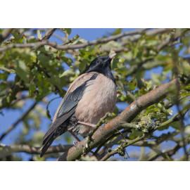 Rose Coloured Starling Corton in a tree
