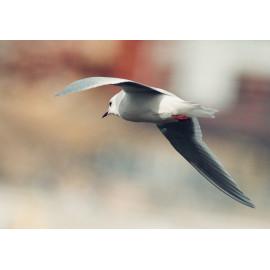 Ross's Gull Sunderland 1