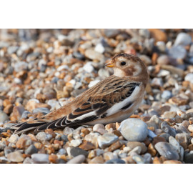 Snow Bunting Cley 5