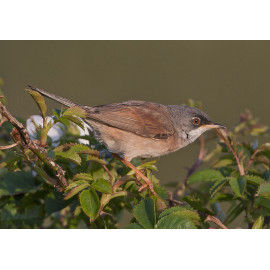 Spectacled Warbler Burnham
