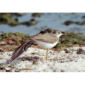 Spotted Sandpiper Lake Eerie