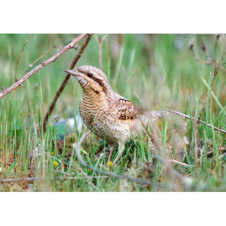 Wryneck at Lackford 1