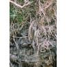 Wryneck Scillies