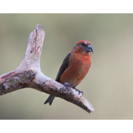 Crossbill Hollesley Common