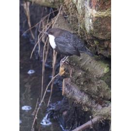 Black Bellied Dipper Norfolk