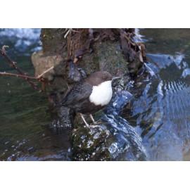 Black Bellied Dipper Norfolk 1