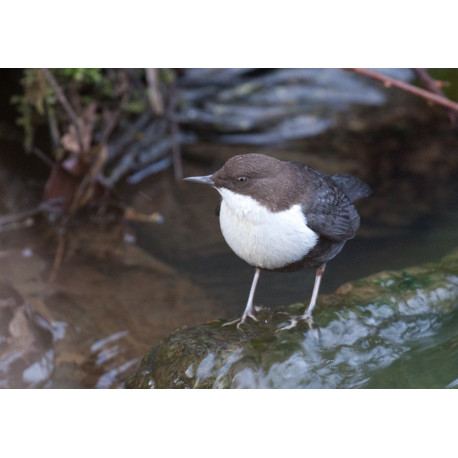 Black Bellied Dipper Norfolk 3