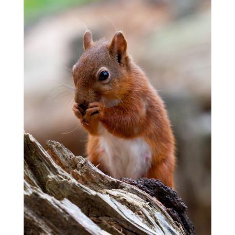 Red Squirrel Durham 1