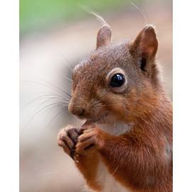 Red Squirrel Durham 3