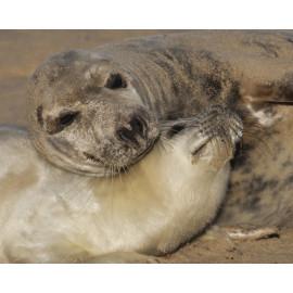Grey Seal Pup  and Mum 3