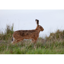 Hare Cley