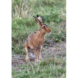 Hare Cley 1