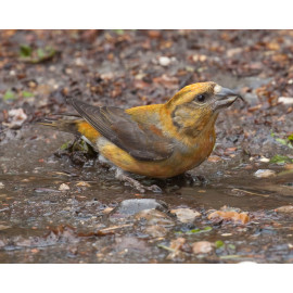 Crossbill Hollesley 3