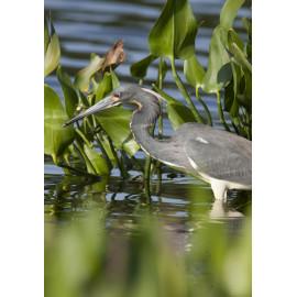 Tri Coloured Heron Florida 1
