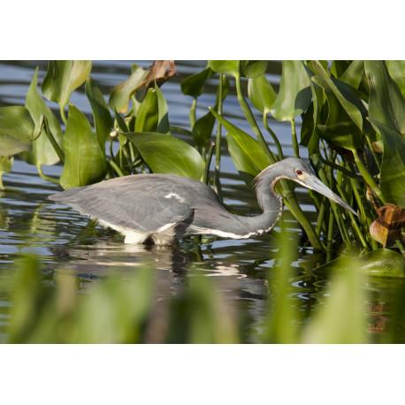 Tri Coloured Heron Florida 2