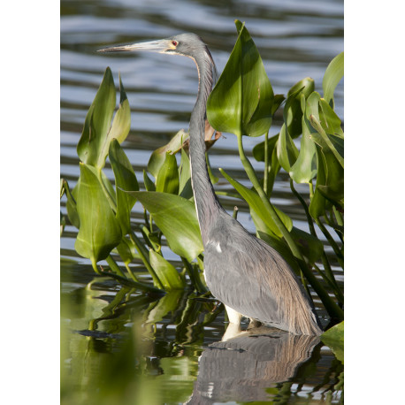 Tri Coloured Heron Florida 3