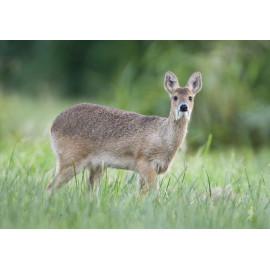Chinese Water Deer Norfolk