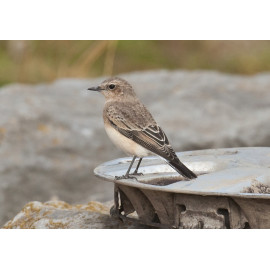 Eastern Black Eared Wheatear Fluke Hall 6
