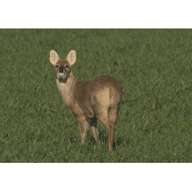 Chinese Water Deer Loddon