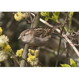 House Sparrow Female 2021