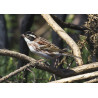 Rustic Bunting Thursley  2021