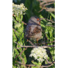 Eastern Sub-alpine Warbler Spurne  2021 5
