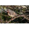 Eastern Sub-alpine Warbler Spurne  2021 6