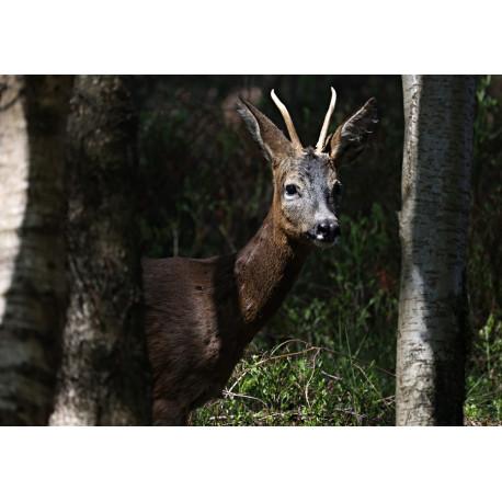Roe Deer Padley
