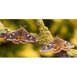 Emperor Moth Male