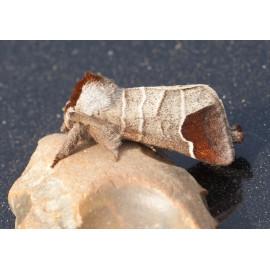 Emperor Moth 1