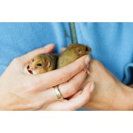 Dormice in the hand