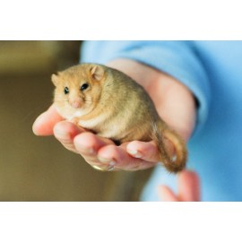 Dormouse in the hand 1