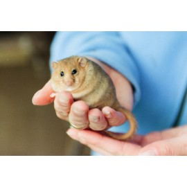 Dormouse in the hand