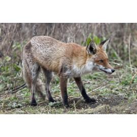 Fox London 1